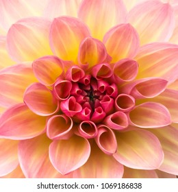 Pink, yellow and white fresh dahlia flower macro photo. Picture in color emphasizing the light different colours and yellow white highlights. Flower center in the in the middle of the square frame.