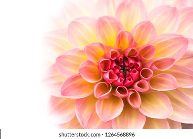 Pink, yellow and white fresh dahlia flower macro photo isolated against white background. Picture in color emphasizing the light different colours and yellow white highlights.