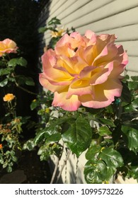 Pink, yellow, and white variegated rose on stem as seen from side.