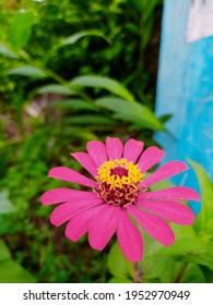 Pink Zenia flower is blooming
