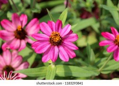Pink zinnia with beautiful blooming in garden outdoor on green leaf background