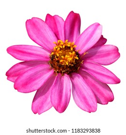 Pink zinnia with beautiful blooming on white background