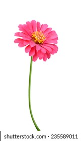 Pink zinnia elegance isolated on white background