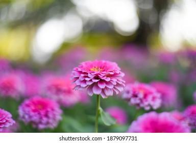 Pink Zinnia elegans Flowers in the garden