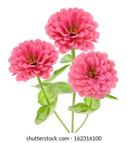 pink zinnia flower isolated on white