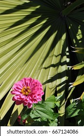 Pink zinnia flower with yellow center in front of palm leave