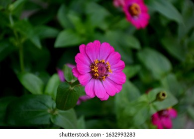 Pink zinnia flowers with blurred background.