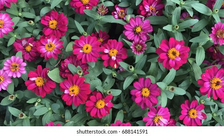 pink Zinnia in the garden from top view