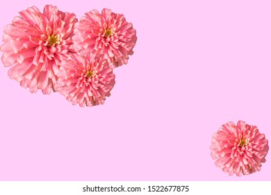 Pink Zinnia isolated on pink background.Zinnia is a genus of plants of the sunflower tribe within the daisy family. They are native to scrub and dry grassland