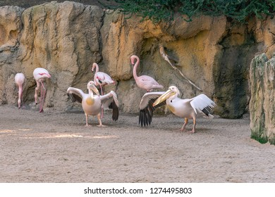 Pink-backed pelican (Pelecanus rufescens) is a bird of the pelican family. It is a resident breeder in the swamps and shallow lakes of Africa, southern Arabia.Mates.