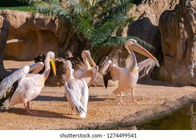 Pink-backed pelican (Pelecanus rufescens) is a bird of the pelican family. It is a resident breeder in the swamps and shallow lakes of Africa, southern Arabia, southern India. Mating.