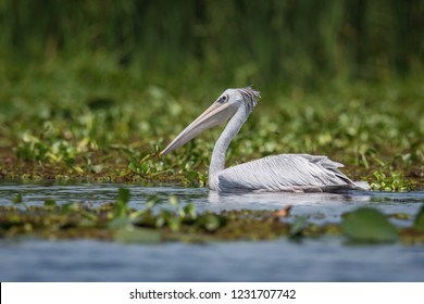 The Pink-backed Pelican or Pelecanus rufescens is floating on the surface of the lake. Afrika. Uganda. Nice green environment of Uganda wildlife