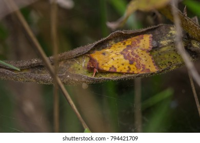 Pink-barred Sallow moth (Xanthia togata)