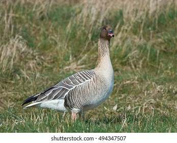 Pink-footed goose (Anser brachyrhynchus) standing on the ground in grass