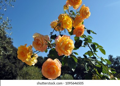 A pinkish yellow rose bush stands out against a blue sky