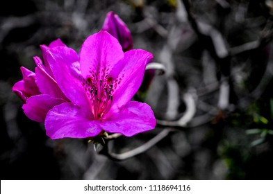 Pink-magenta orchid against grey background