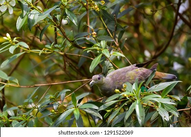 Pink-necked Green Pigeon feeding on fruit tree in Singapore (Treron vernans)