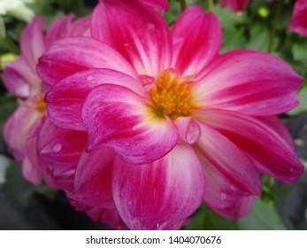 Pink-red Dahlia flower close up 2019