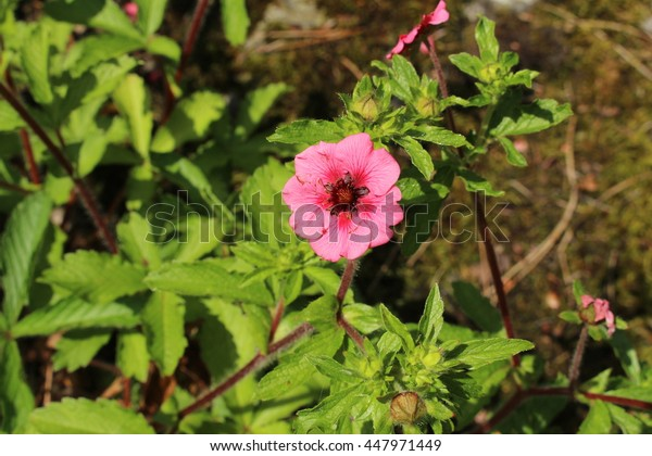 """Pink-red """"Nepal Cinquefoil"""" flower in Zurich, Switzerland. Its Latin name is Potentilla Nepalensis (Syn Potentilla Willmottiae), native to West Himalaya."""