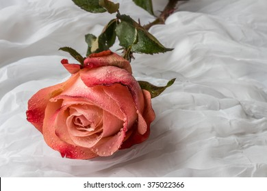 Pink-red rose with water droplets - white background