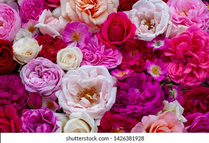 pink,red, violet and white roses background