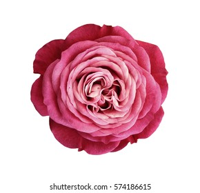 pink-red-white rose flower. white isolated background with clipping path. Nature. Closeup no shadows. Nature.