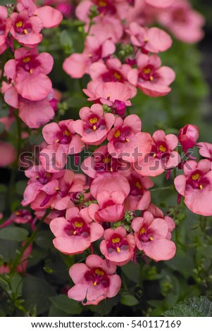 Pinks Flowers Pouch Nemesia Capejewels Nemesia Stock Photo Edit Now