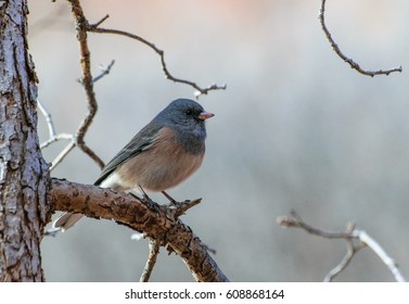 Pink-Sided Dark-eyed Junco perched on a Branch in Winter
