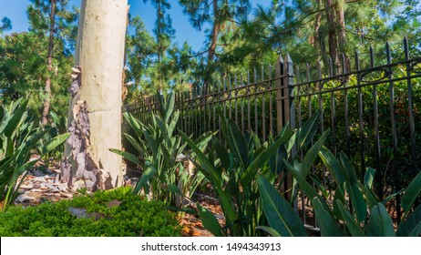 Pink-tinged bark piles off Ghost Gum tree (Corymbia aparrerinja) next to metal fence and lush green plants
