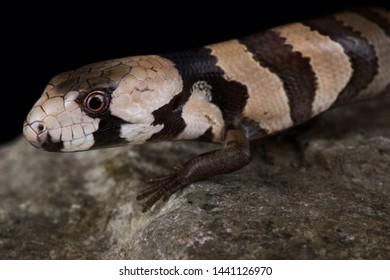 The Pink-tongued skink (Cyclodomorphus gerrardii)
