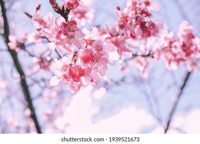 Pinky cherry blossom with blue sky during springtime in the Wuling farm, Taichung, Taiwan.