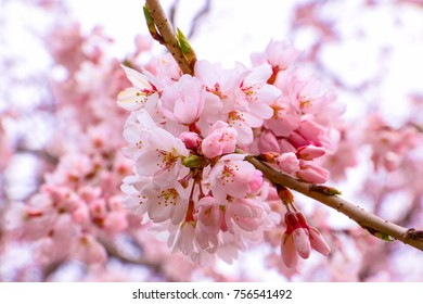 pinky cherry blossom in spring season