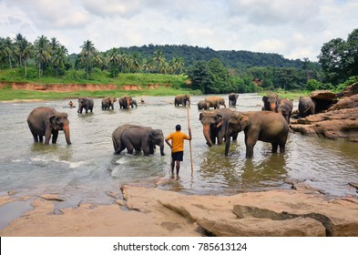 PINNAWALA, SRI LANKA - AUGUST 13, 2014: A herd of elephants bathes in the river under the supervision of a local mans