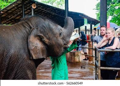 PINNAWALA, SRI LANKA - JANUARY 23: Orphaned baby elephant being fed with milk at Pinnawala elephant orphanage On January 23, 2017 In Rambukkana, Sri Lanka