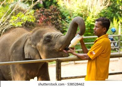 PINNAWALA, SRI LANKA: March 12, 2014: Man feeding baby elephant from the bottle at Pinnawala, Sri Lanka