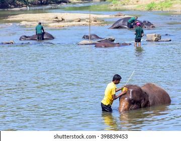 PINNAWELA, SRI LANKA - FEBRUARY 03, 2016: Elepants Bathing in River in the Pinnawela Elephant Orphanage in Pinnawela, Sri Lanka.