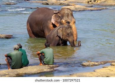 PINNAWELA, SRI LANKA - JANUARY 08, 2018: Elepants Bathing in River in the Pinnawela Elephant Orphanage in Pinnawela, Sri Lanka.