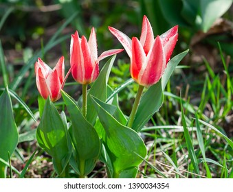 pinocchio flower in the garden