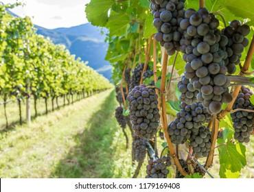Rebsorte Pinot Grigio. Pinot Grigio ist eine weiße Weinsorte, die aus Trauben mit grauem, weißem Rot und violettem Fell hergestellt wird. Trentino Alto Adige, Italien. Guyot Vine Training System