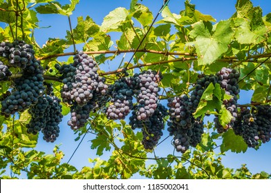 Pinot Grigio grape variety. Pinot Grigio is a white wine grape variety that is made from grapes with grayish, white red, and or purple skins. Trentino Alto Adige, Italy.