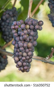Pinot Gris Grape Is Ready To Harvest In The Vineyard