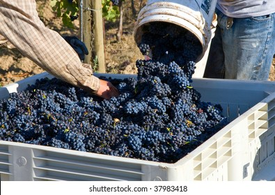 Pinot Noir grapes during harvest in the Willamette Valley of Oregon