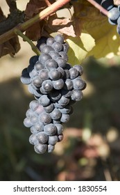 Pinot Noir grapes hang from the trellis ready for harvest