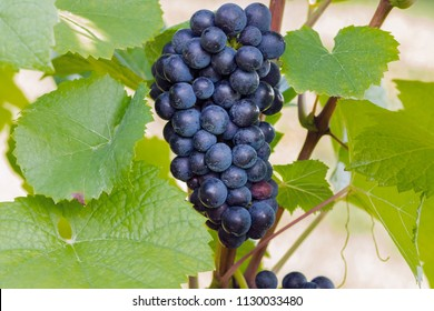 Pinot Noir or Late Burgundian blue grapes on the green grape leaves background