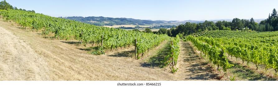 A Pinot Noir Vineyard in the Willamette Valley Oregon