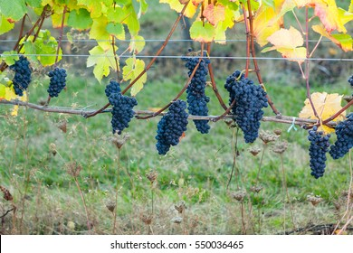 Pinot Noir wine grapes hanging from the vine