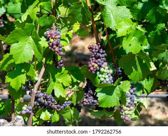Pinot Wine Grapes Ripening on the Vine