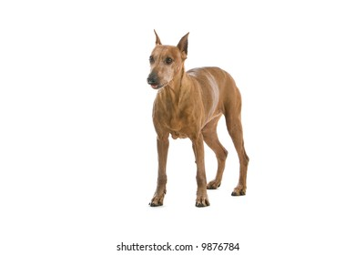 pinscher dog isolated on a white background