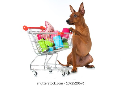 Pinscher dog with shopping cart isolated on white background