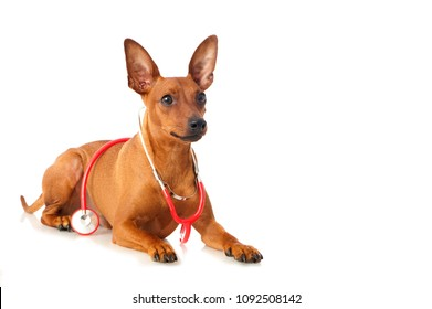 Pinscher dog with stethoscope isolated on white background